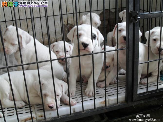 高品质杜高犬带血统出售中 终身质保质量三包 可签协议