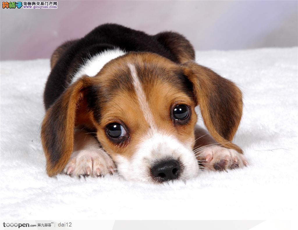 赛级品相南宁腊肠犬幼犬低价出售包养活包退换