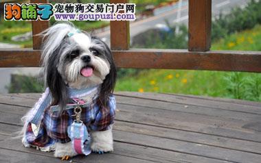 高品质西施犬带血统出售中 终身质保质量三包 可签协议