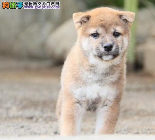赛级柴犬出窝 多只待售 纯种健康柴犬出售