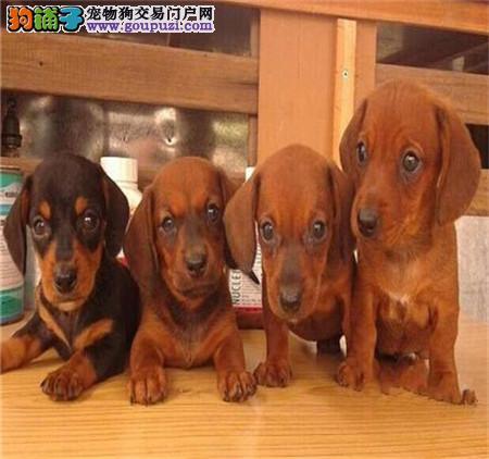 高品质标准小短腿大耳朵机灵可爱腊肠犬幼犬焦作出售