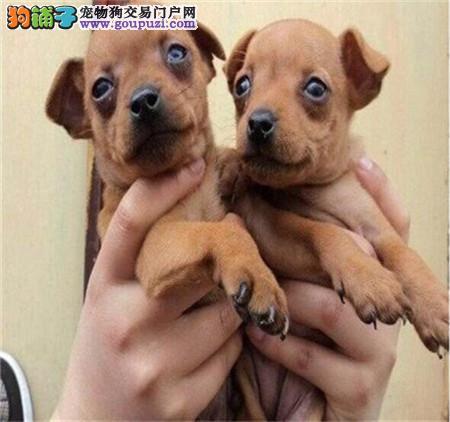 长沙哪里有卖小鹿犬的 长沙小鹿幼犬多少钱一只