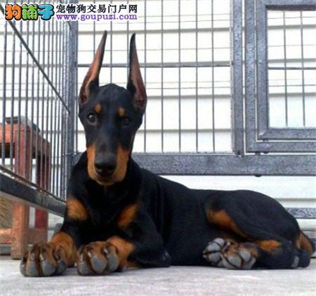 出售家养纯种杜宾犬杜宾犬价格多少