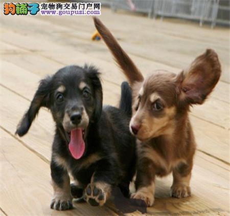 出售极品腊肠犬宝宝 活泼可爱 健康保证