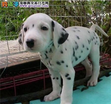 甘肃哪里有斑点狗卖 甘肃斑点狗多少钱
