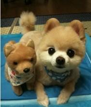 哪里有俊介犬卖 哪里有正规狗场 博美犬