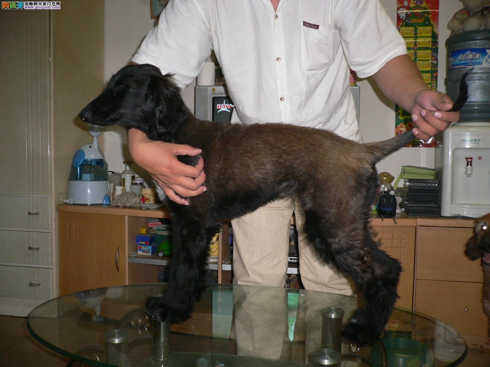 纯种阿富汗猎犬宝宝找主人可刷卡可视频