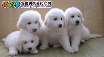 高品质大白熊带血统出售中 质量三包 可签协议