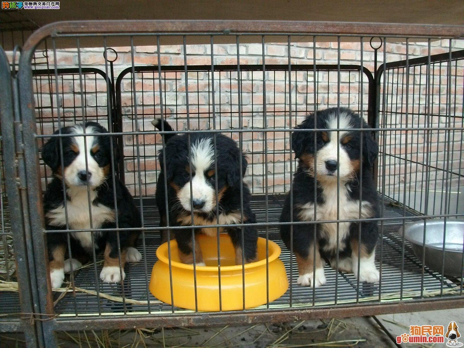高品质伯恩山犬带血统出售中 质量三包 可签协议