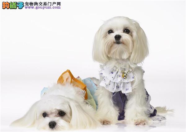 西施犬幼崽出售中,金牌店铺品质保障,三年质保协议