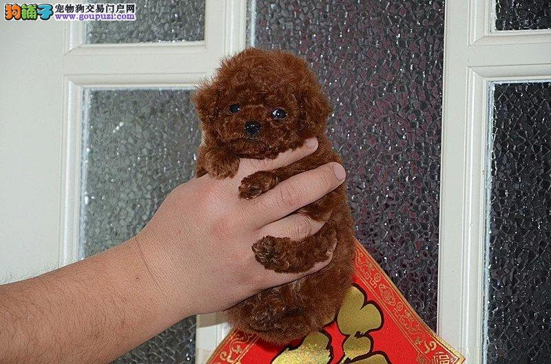 犬舍直销品种纯正健康茶杯犬签订协议终身质保