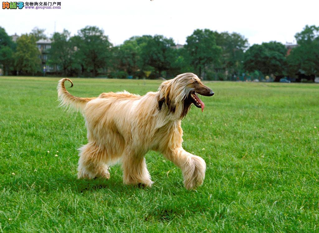 极品纯正的阿富汗猎犬幼犬热销中微信咨询看狗