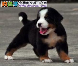 出售伯恩山幼犬、CKU认证绝对保障、三年联保协议