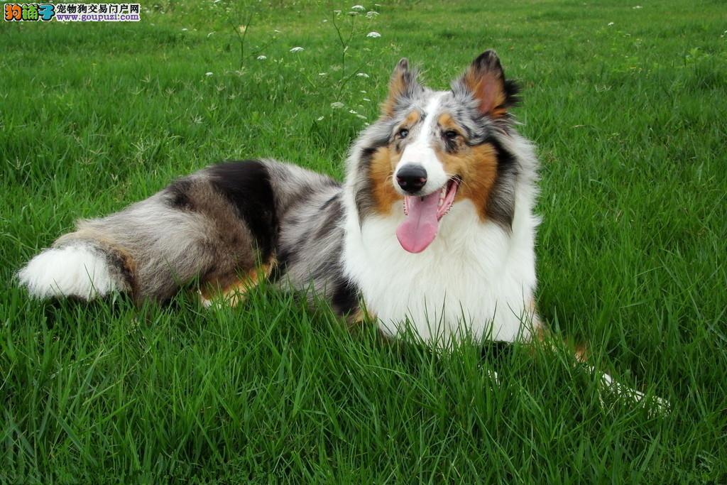 专业繁殖基地出售苏格兰牧羊犬 血统纯正签订售后合同