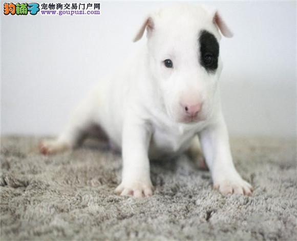 出售多种颜色白山纯种牛头梗幼犬CKU认证品质绝对保障