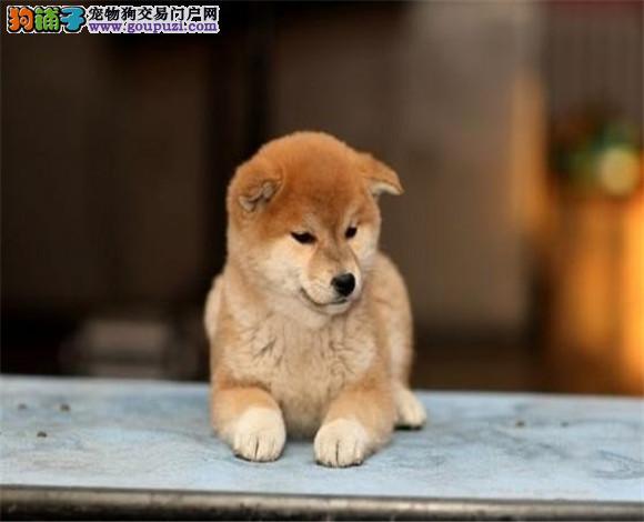 CKU纯种日本柴犬丨多只可选丨签协议包健康3个月