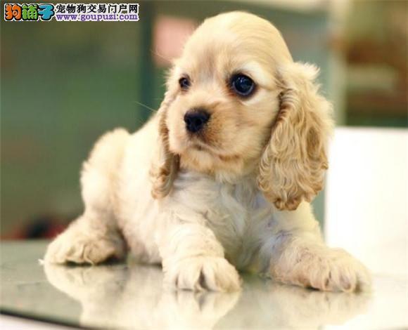 可卡CKU认证犬舍自繁自销微信咨询看狗狗视频