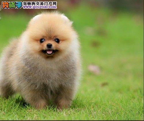 长春哪里有博美犬出售博美价格是好多