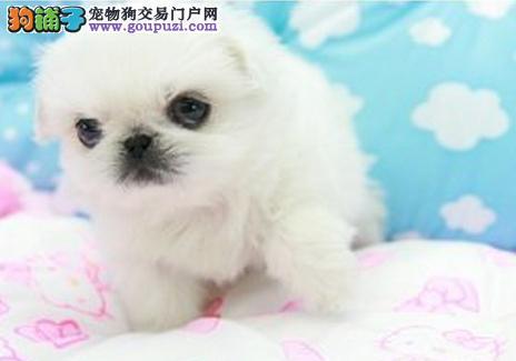 南京出售纯种活泼可爱的京巴宝宝