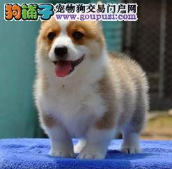 柯基犬 两色 三色 齐白到位 健康纯种、