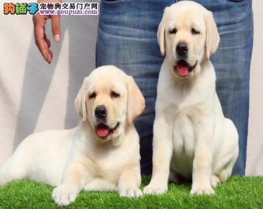 拉布拉多 神犬小七 健康纯种 疫苗齐全