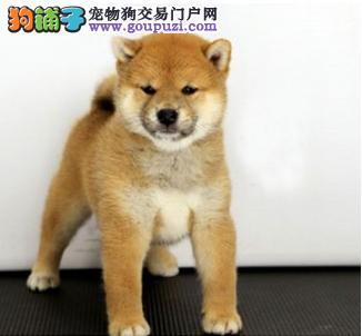 柴犬 日系柴犬 健康纯种 疫苗齐全