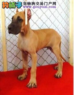 CKU认证犬舍 专业出售极品 大丹犬幼犬价格美丽非诚勿扰