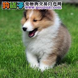 出售纯种苏格兰牧羊犬 纯种三色雕色苏格兰牧羊犬小狗