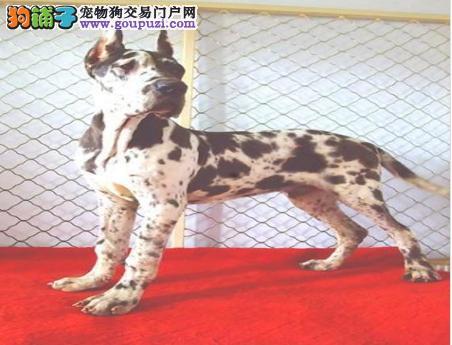 石家庄最大的大丹犬基地 完美售后提供护养指导