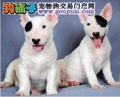 精品纯种北京牛头梗出售质量三包微信选狗直接视频