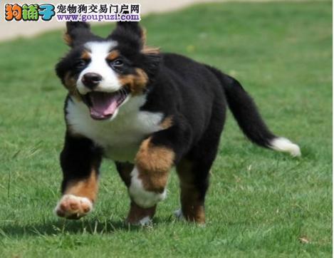 顶级大头纯种罗威纳幼犬2-4个月都有多只选购