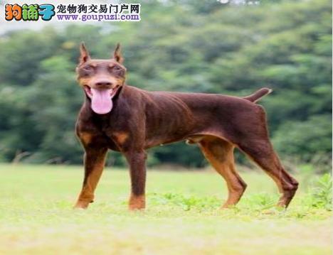 江南狗场出售健康可爱高品质纯种德系杜宾 美系杜宾