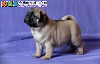 CKU犬舍认证西城出售纯种巴哥犬价格美丽品质优良