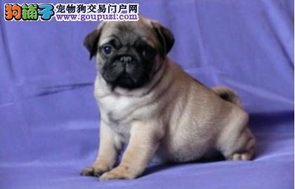 济南知名犬舍出售多只赛级巴哥犬上门可见父母