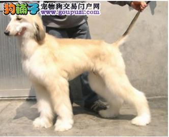 出售多种颜色纯种阿富汗猎犬幼犬全国当天发货
