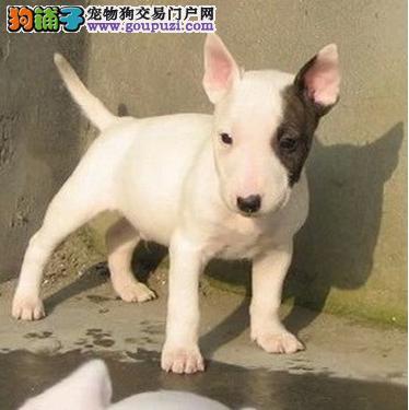 牛头梗幼犬出售中 一宠一证视频挑选 购犬可签协议