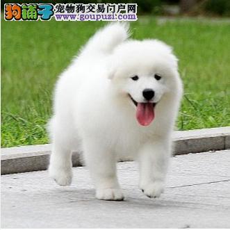 大型专业培育萨摩耶幼犬包健康多种血统供选购