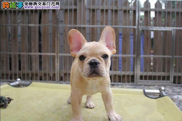 出售纯种健康的成都法国斗牛犬幼犬欢迎爱狗人士上门选购