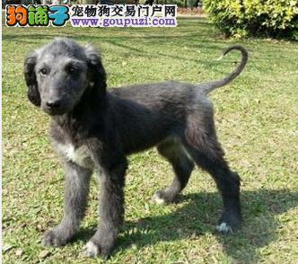 家养多只阿富汗猎犬宝宝出售中微信咨询看狗狗视频