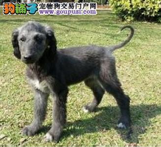 出售聪明伶俐黄石阿富汗猎犬品相极佳以品质惊世人