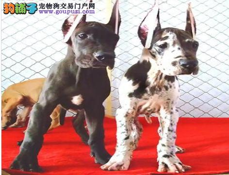 自家狗场繁殖直销大丹犬幼犬送用品送狗粮