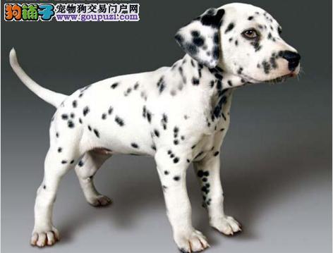 纯种健康斑点狗幼犬公母都有疫苗做齐 签订质保协议