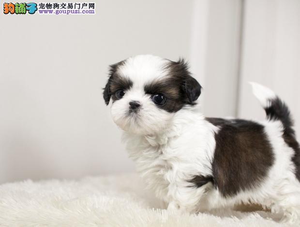 大同精品高品质萌宠超可爱西施幼犬出售
