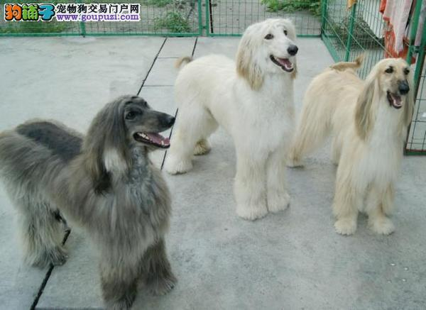 热卖阿富汗猎犬宝宝,公母均有颜色齐全,三包终生协议