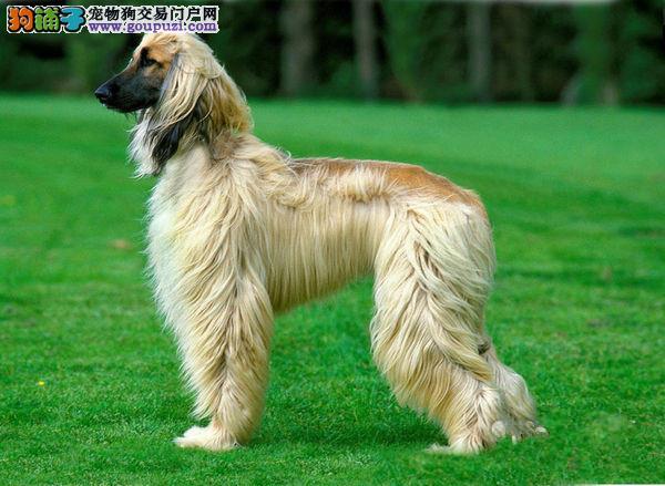 广东实体店低价促销赛级阿富汗猎犬幼犬签正规合同请放心购买
