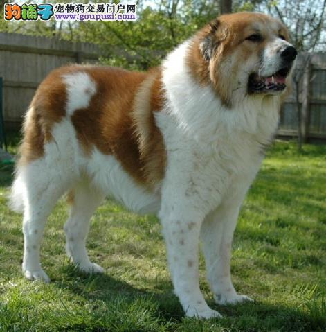 完美品相血统纯正苏州中亚牧羊犬出售期待您的咨询