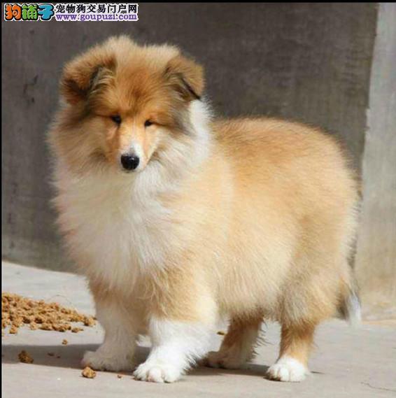 武汉犬业高品质苏格兰牧羊犬100天大幼犬出售