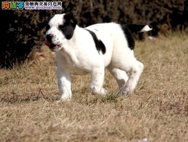 CKU犬舍认证南京出售纯种中亚牧羊犬三针疫苗齐全