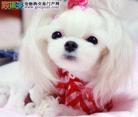 极品马尔济斯犬出售 数量有限