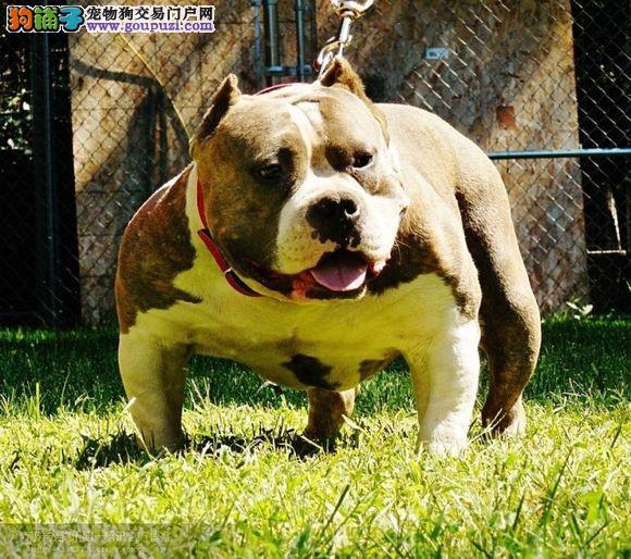 冠军级后代美国恶霸犬,纯度第一品质第一,签订活体协议